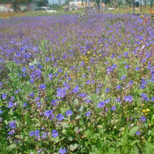 Load image into Gallery viewer, Desert Bluebells also known as California Bluebells (Phacelia campanularia) mass planting of these wildflowers.