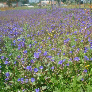 Desert Bluebells also known as California Bluebells (Phacelia campanularia) mass planting of these wildflowers.
