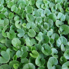 Load image into Gallery viewer, Dichondra close up of leaves.