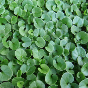 Dichondra close up of leaves.