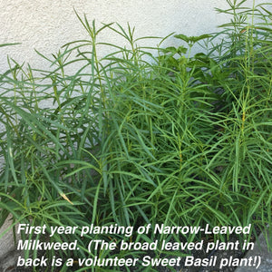 First year planting of Narrow-Leaved Milkweed (Asclepias fascicularis) grown from Stover seed.