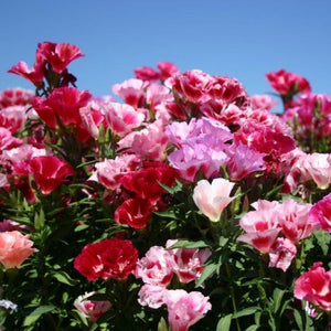 Godetia / Farewell-to-Spring (Clarkia amoena) cluster with blue sky beyond the wildflowers.