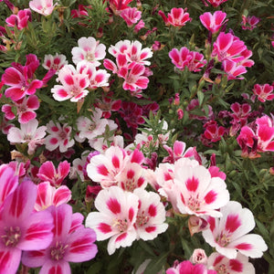 Godetia / Farewell-to-Spring (Clarkia amoena) wildflower mix.