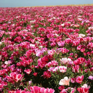 Godetia / Farewell-to-Spring (Clarkia amoena) wildflower seed production field.