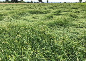 A large field of California Barley (Hordeum californicum prostrate)