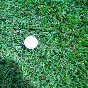 Kentucky bluegrass closeup with a penny for size.