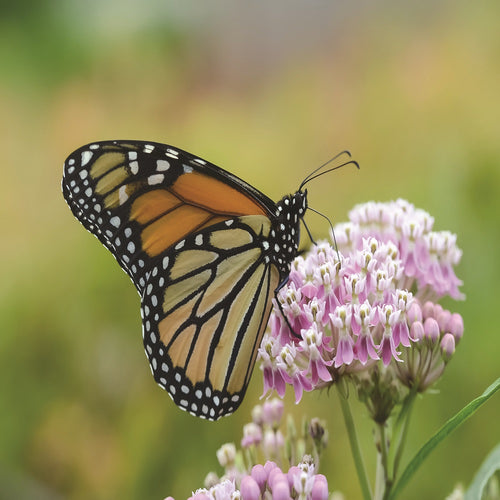 Monarch Butterfly on a Narrow-Leaved Milkweed flower (Asclepias fascicularis).