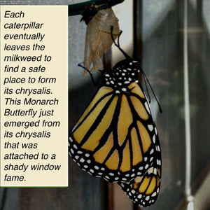 Monarch Butterfly that just emerged from its chrysalis.