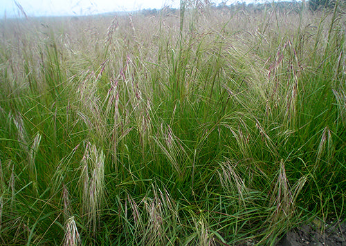 Photo of Purple Needlegrass
