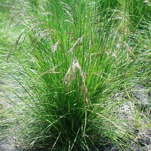 Photo of Tufted Hairgrass