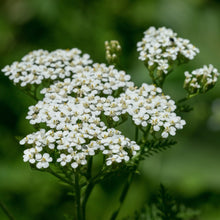 Load image into Gallery viewer, White Yarrow (Achillea millefolium) closeup of this wildflower.