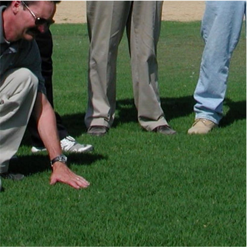 Photo of a turfgrass professional examining new Arden 15 Hybrid Bermuda Grass, which  is the successor variety to Princess 77.