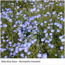 Load image into Gallery viewer, Baby Blue Eyes wildflower in full bloom in a garden. Latin name is Nemophila menziesii.