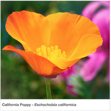 Load image into Gallery viewer, Closeup of brilliant orange California poppy  flower.