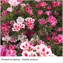"Load image into Gallery viewer, Brilliant shades of rose, pink, and white flowers in ""Farewell to Spring"" wildflowers. Latin name is Clarkia amoena."