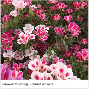 "Brilliant shades of rose, pink, and white flowers in ""Farewell to Spring"" wildflowers. Latin name is Clarkia amoena."