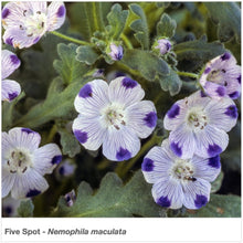 Load image into Gallery viewer, Closeup of Five Spot wildflowers. Latin name is Nemophila maculata.