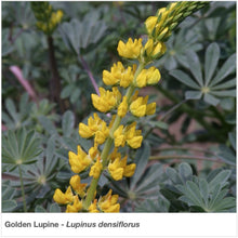 Load image into Gallery viewer, Golden Lupine flower in full bloom. Latin name is Lupinus densiflorus.