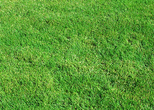 Photo of Pure Dynasty Seashore Paspalum