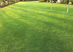 Photo of Pure Dynasty Seashore Paspalum used in a home lawn setting