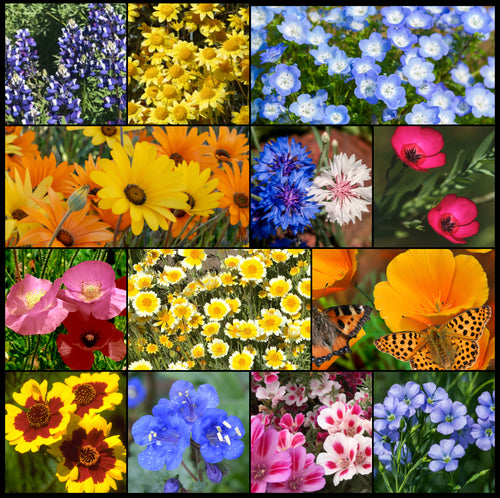 Composite photos of Southwest Wildflower Mixture showing flowers in glorious, full bloom!