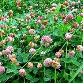 O'Connors Strawberry Clover
