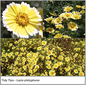 Tidy Tips wildflower closeup and in a garden planting.  Gorgeous yellow flowers edged in white. Latin name is Layia platyglossa.