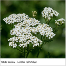 Load image into Gallery viewer, Closeup of White Yarrow wildflower. Latin name is Achillea millefolium.