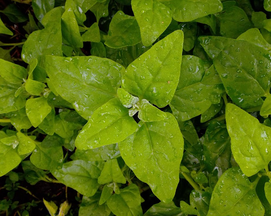 Emu Creek: Warrigal Greens - Pot plant inc. growing info