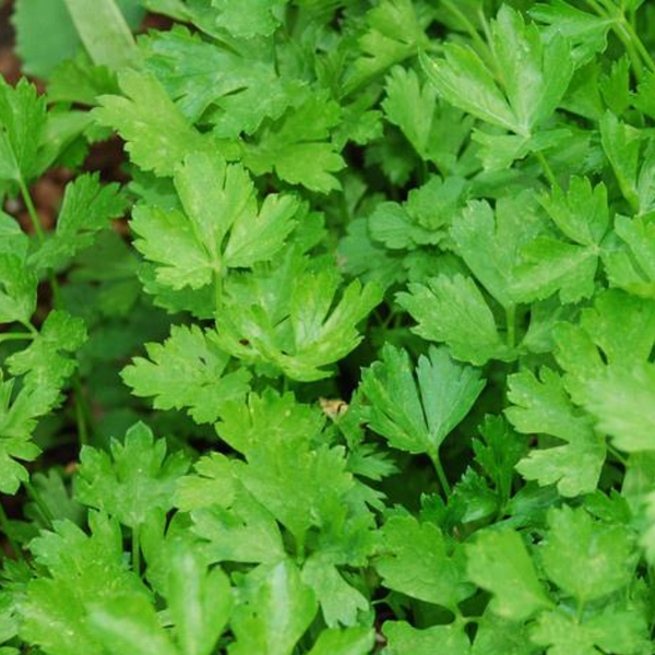 Flat Leaf Parsley - 50g