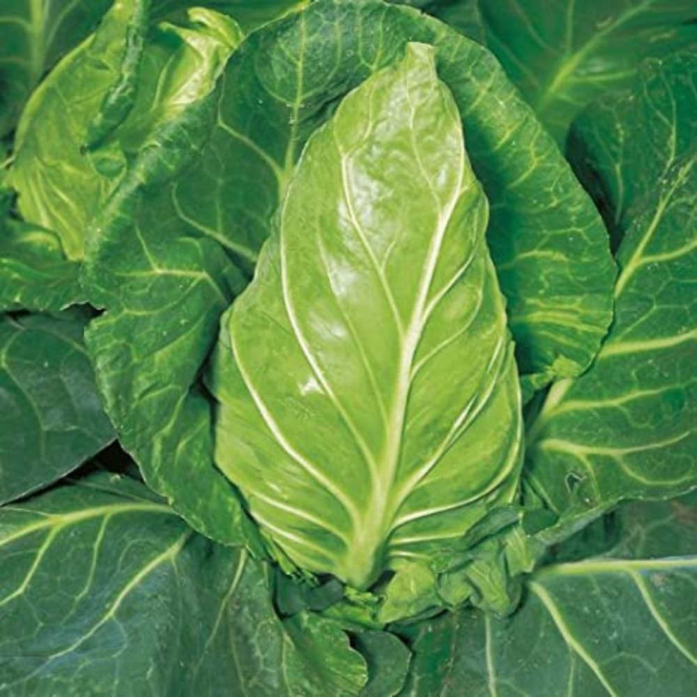 Hispi / Sweetheart Cabbage