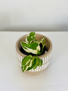 Potho indoor plants