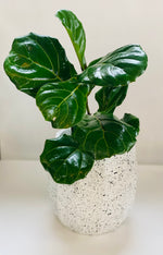 Load image into Gallery viewer, Ficus Plant