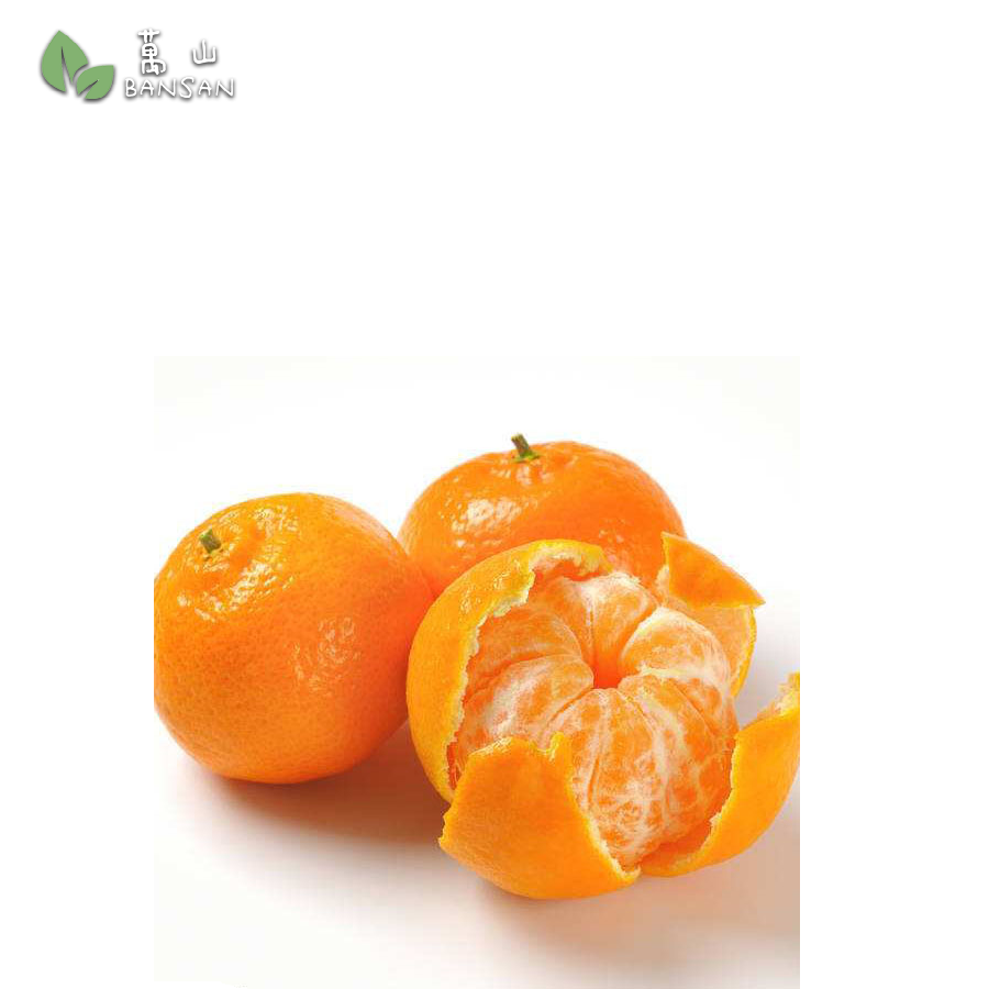 Penang Grocery Store Online Next Day Delivery is Offering SA Mandarin Orange 小甘 (800g)