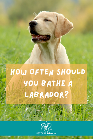 A blonde labrador puppy sitting on some grass. Text says: How Often Should You Bathe A Labrador?