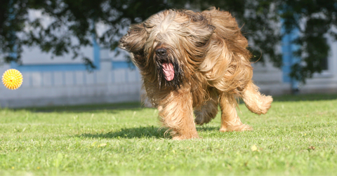 A long haired dog chasing after a ball