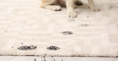 A trail of muddy paw prints on a carpet with a labrador sitting in the background