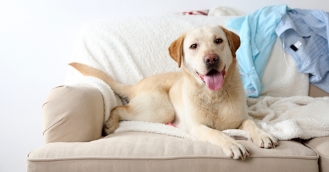 A labrador lying on a sofa with it's tongue out