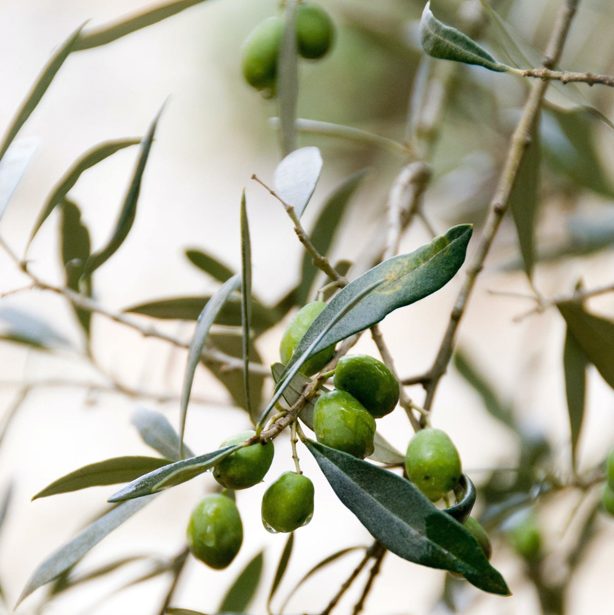 Different olive varieties for different oils - delicate, medium and intense | Marqt.no