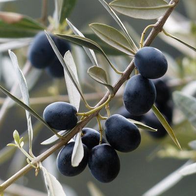 What is the difference between early and late harvest extra virgin olive oils? | Marqt.no