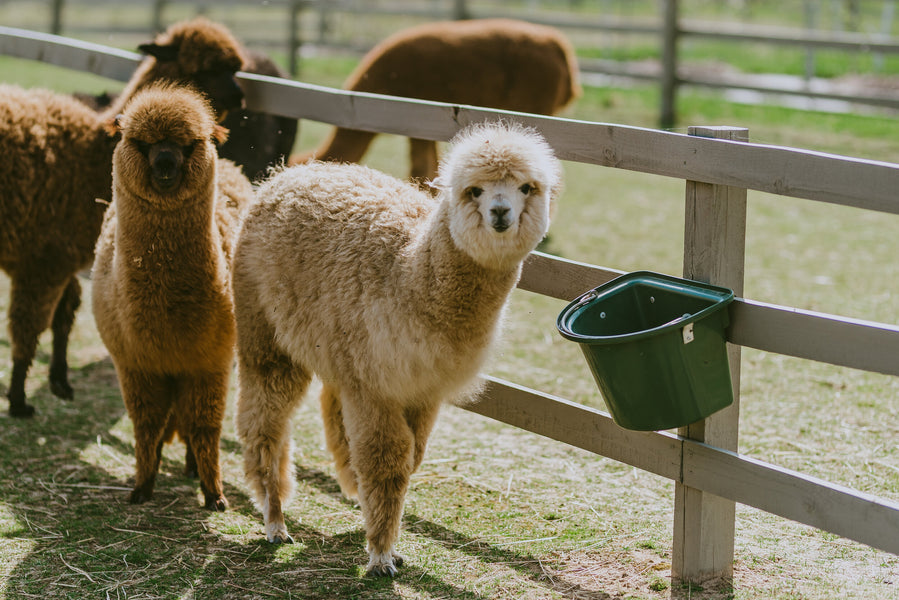Four reasons why you should love alpaca wool