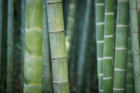 A collection of green bamboo tree stems.