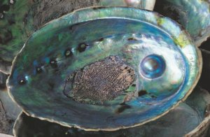 Abalone Shell with Blue Pearl