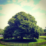 Magnificent tree in the grounds of Rufford Abbey