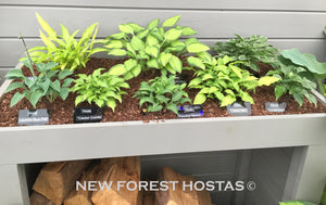 Small & Miniature Hostas