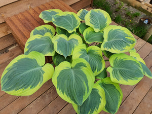Large & Giant Hostas