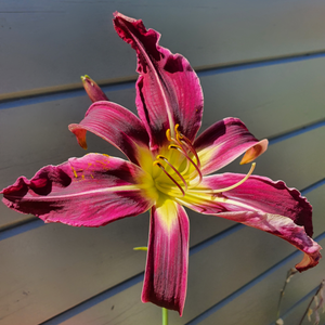 Hemerocallis Varieties We Grow