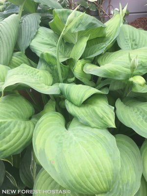 Fragrant Hosta Plants