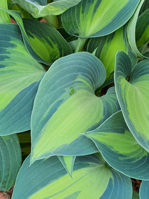 Hosta 'Dinner Jacket' - New Forest Hostas & Hemerocallis