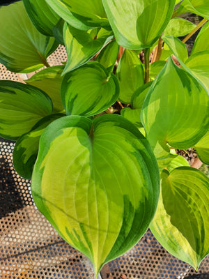Hosta 'Volcano Island' - New Forest Hostas & Hemerocallis